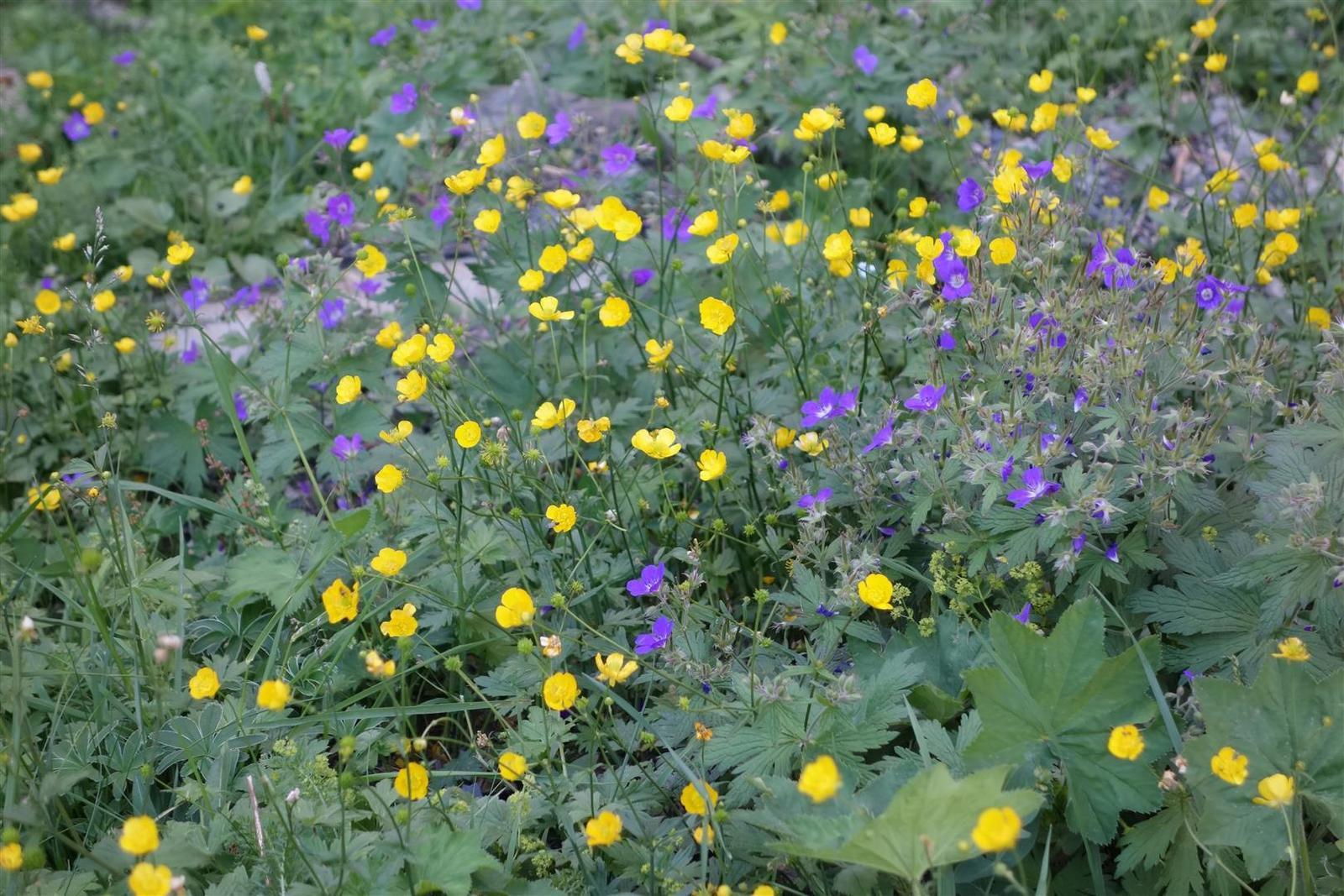 la prairie alpine encore fleurie en cette fin août