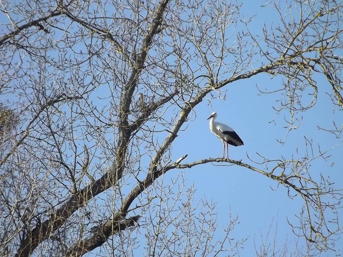 Les cigognes ont débuté la consolidation des grands nids en prévision de grandes naissances... (photo fred bonvalot)