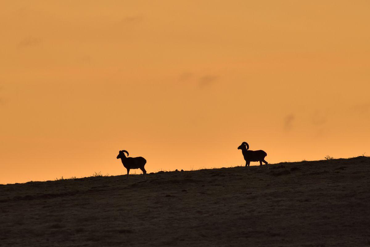 Mouflons au crépuscule. Photos Jean-Paul Ladoux