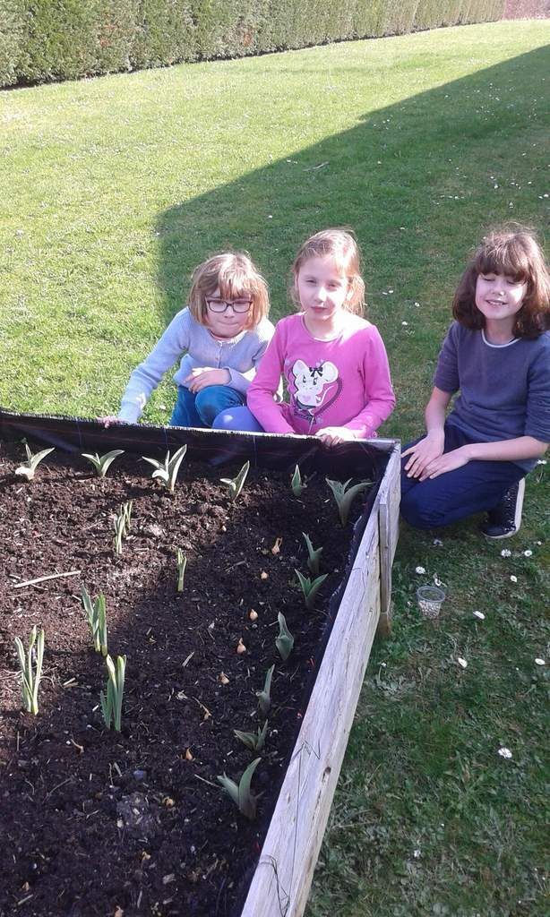 Nous avons planté des oignons en ligne au milieu des tulipes et des jonquilles. ( Laura, Juliette et Inès))