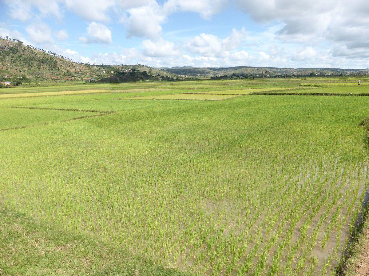 Dimanche 15 janvier 2019 - J28 - Dans les rizières de Manandona