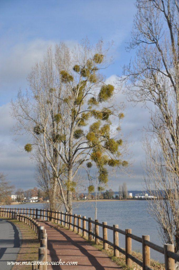 Un arbre à ''gui''!