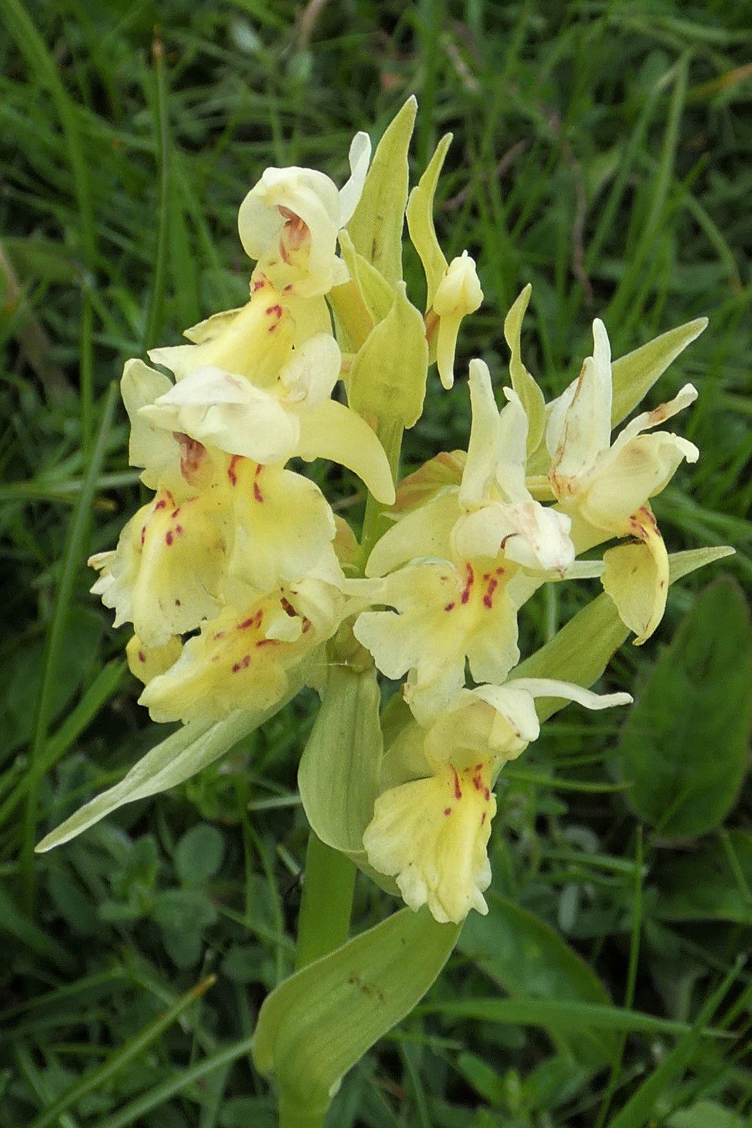une autre orchidée, orchis sureau peut-être ?