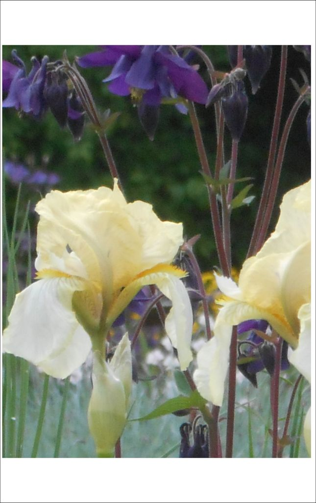 les iris au jardin botanique,
