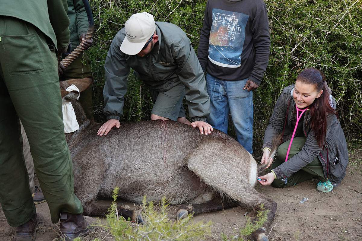 During this procedure, as the Waterbuck wasn't asleep, it wasn't possible for me to have a better position. This animal kicked some of us.