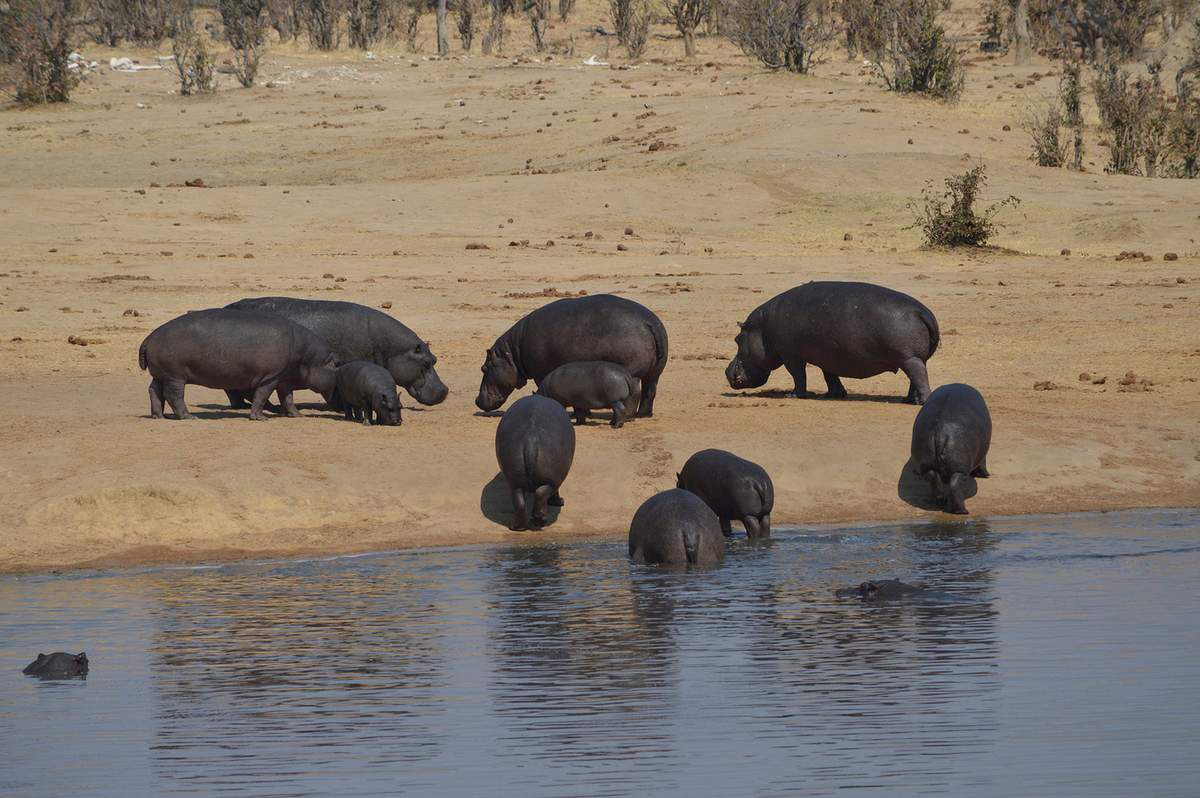 Figure 3: A group of hippopotamuses coming out of Masuma dam at the end of the afternoon in Hwange National Park by Jurgelevicius, C. 2016
