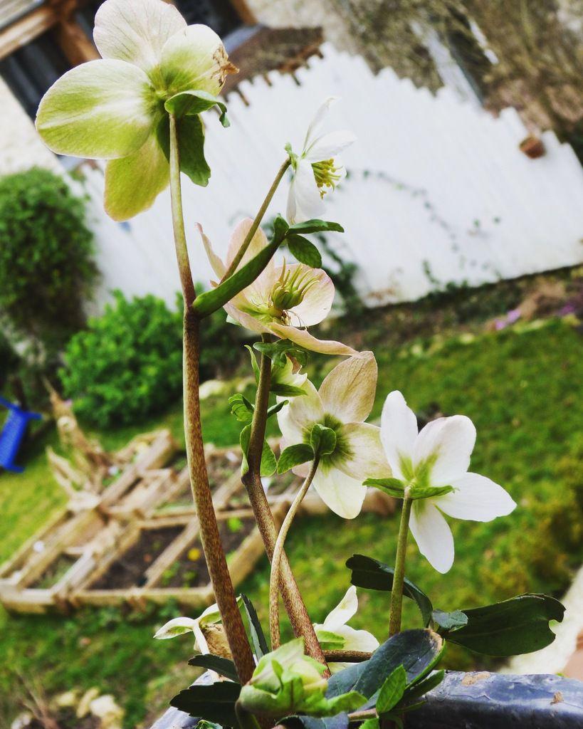 L'Hellébore Niger ou Rose de Noël, à la fenêtre de la cuisine