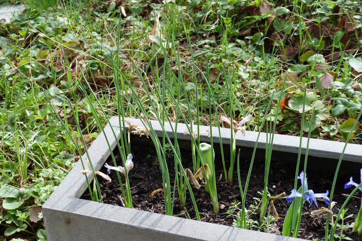 Sur cette photo, on peut voir que le feuillage a grandi, après floraison.
