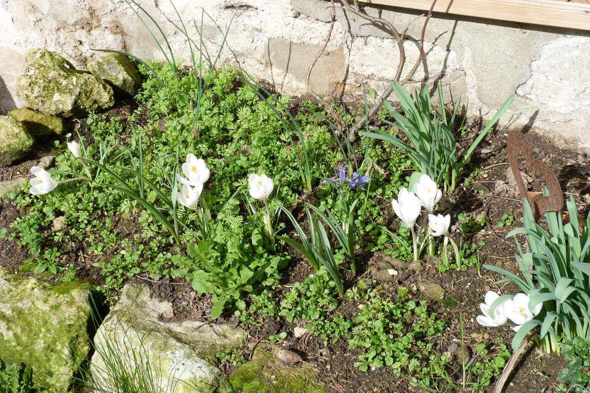 L'anarchie fleurie! Les iris sont désormais un peu passés mais on voit bien que les crocus ont pris le relais, en attendant les tulipes! Et les nigelles de Damas font tout autour un doux tapis tout vert!