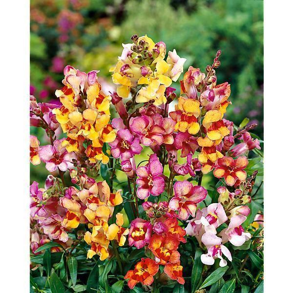 muflier semence fleur potager