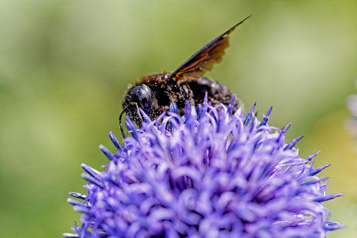 Chardon bleu, bourdons et abeilles charpentières