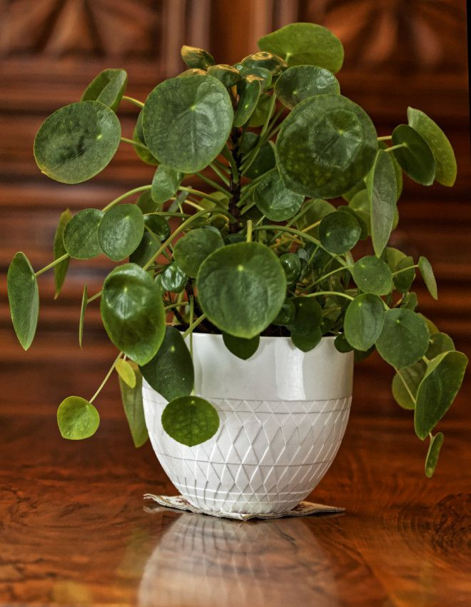 Pilea piperomioides