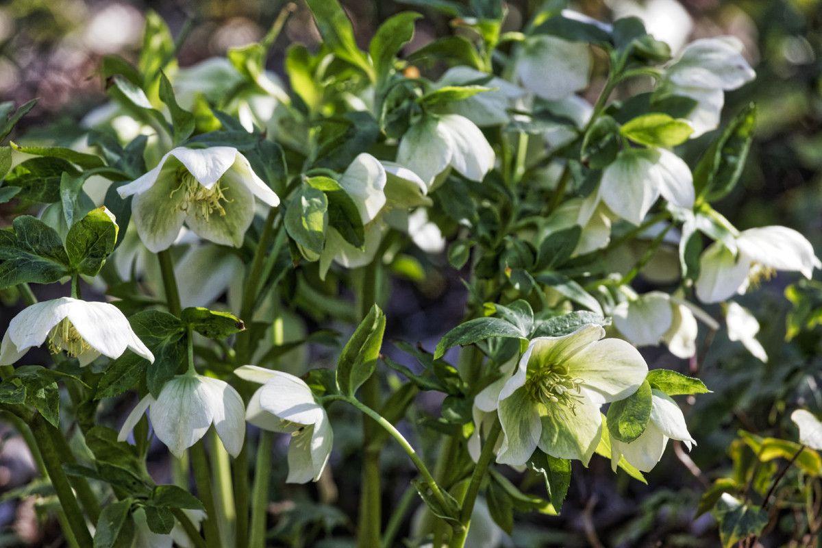 Les Hellébores - Jardin de Liliane