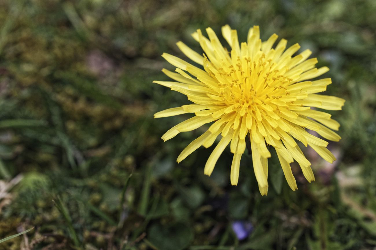 Taraxacum officinale - dent-de-lion