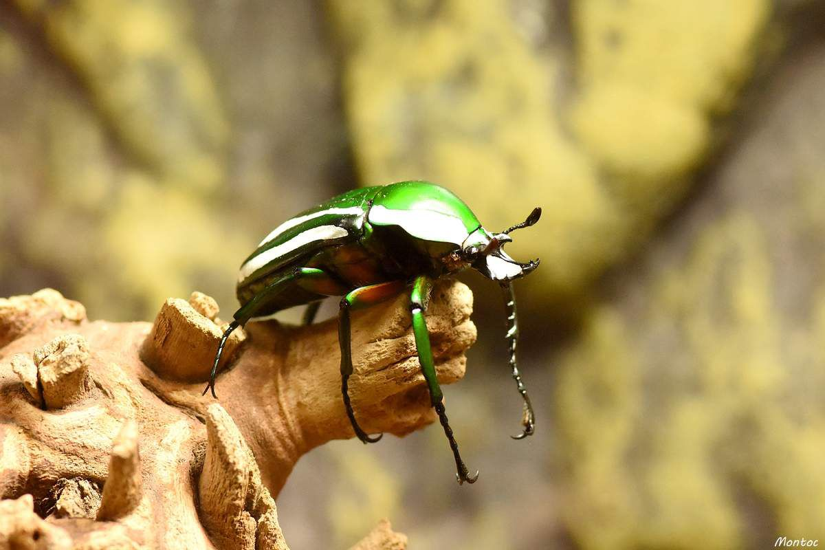 Dicronorhina derbyana layardi