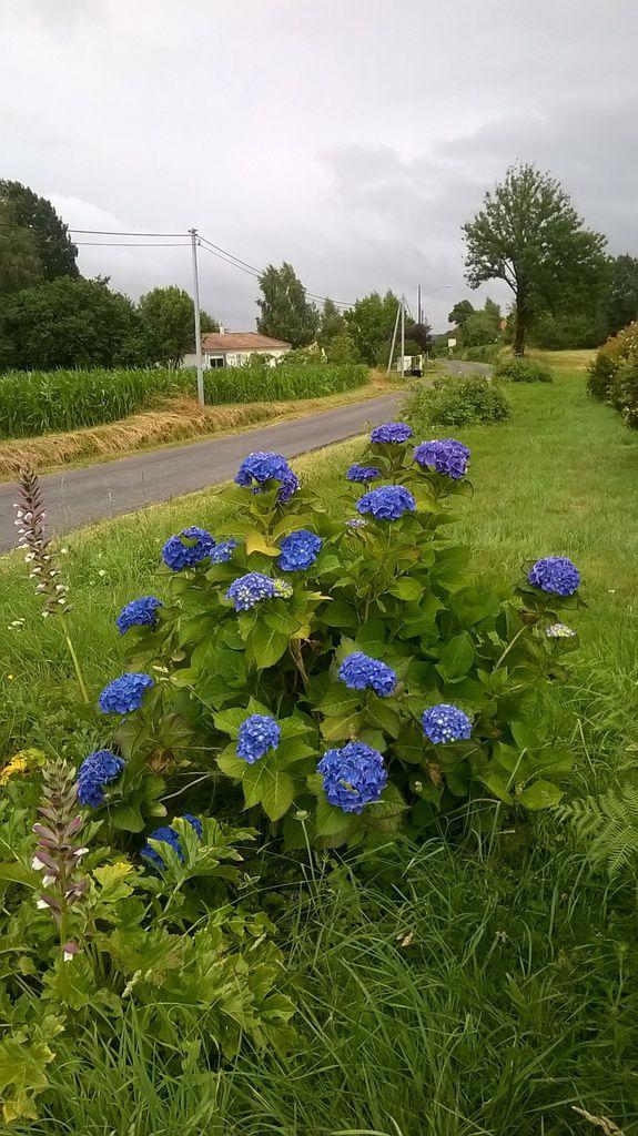 Un bel hortensia bleu qui nous accueille en arrivant à Kerboluc, quand je pense que dans un autre sol, il était rose !!!