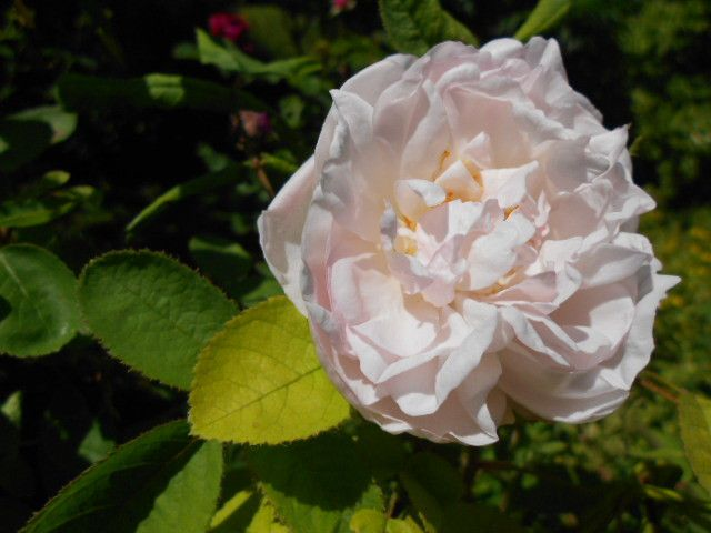 Rose Cuisse de Nymphe.