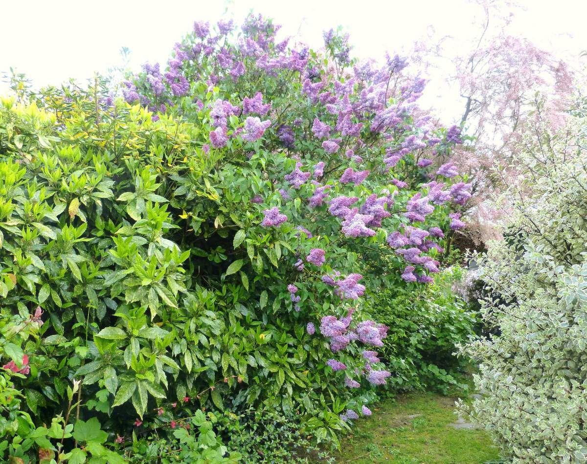 Lilas commun - Syringa vulgaris