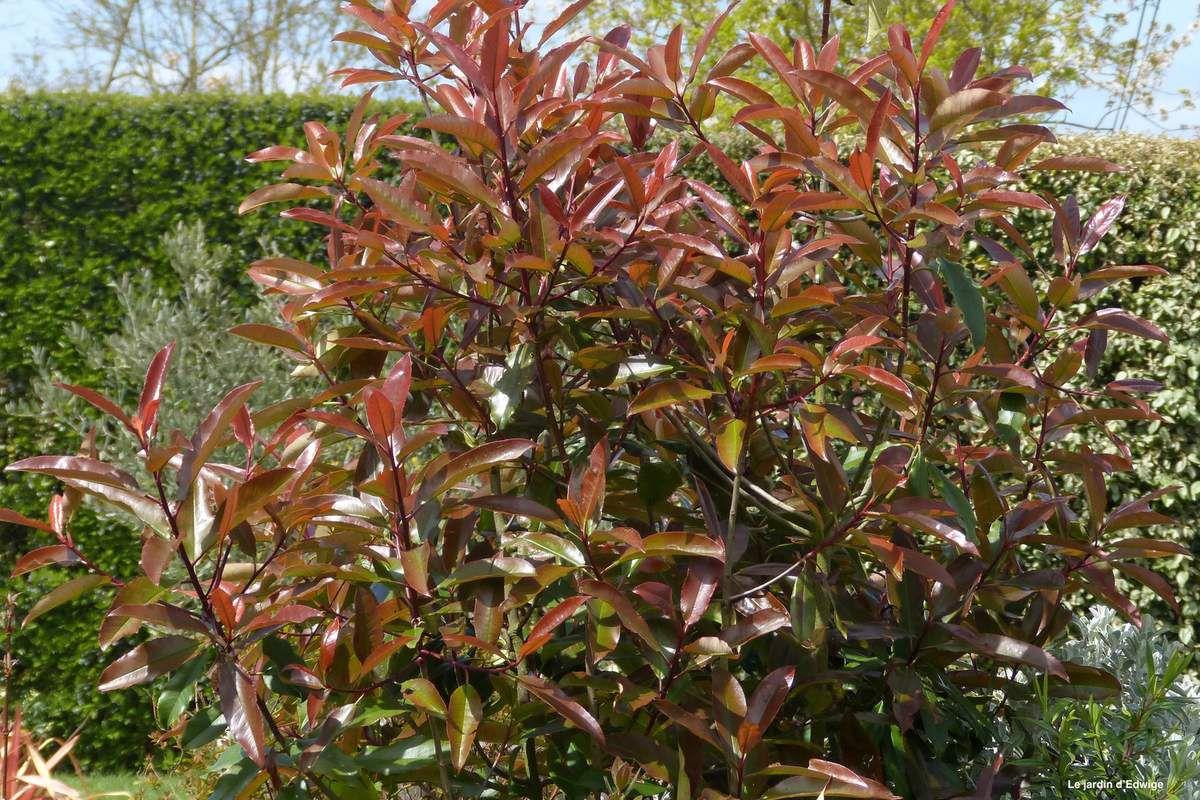 Le même arbuste début mai