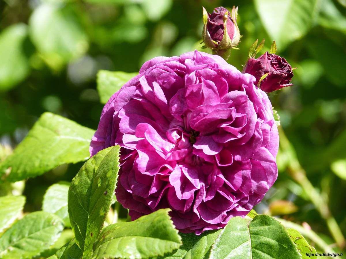 Un rosier très parfumé.