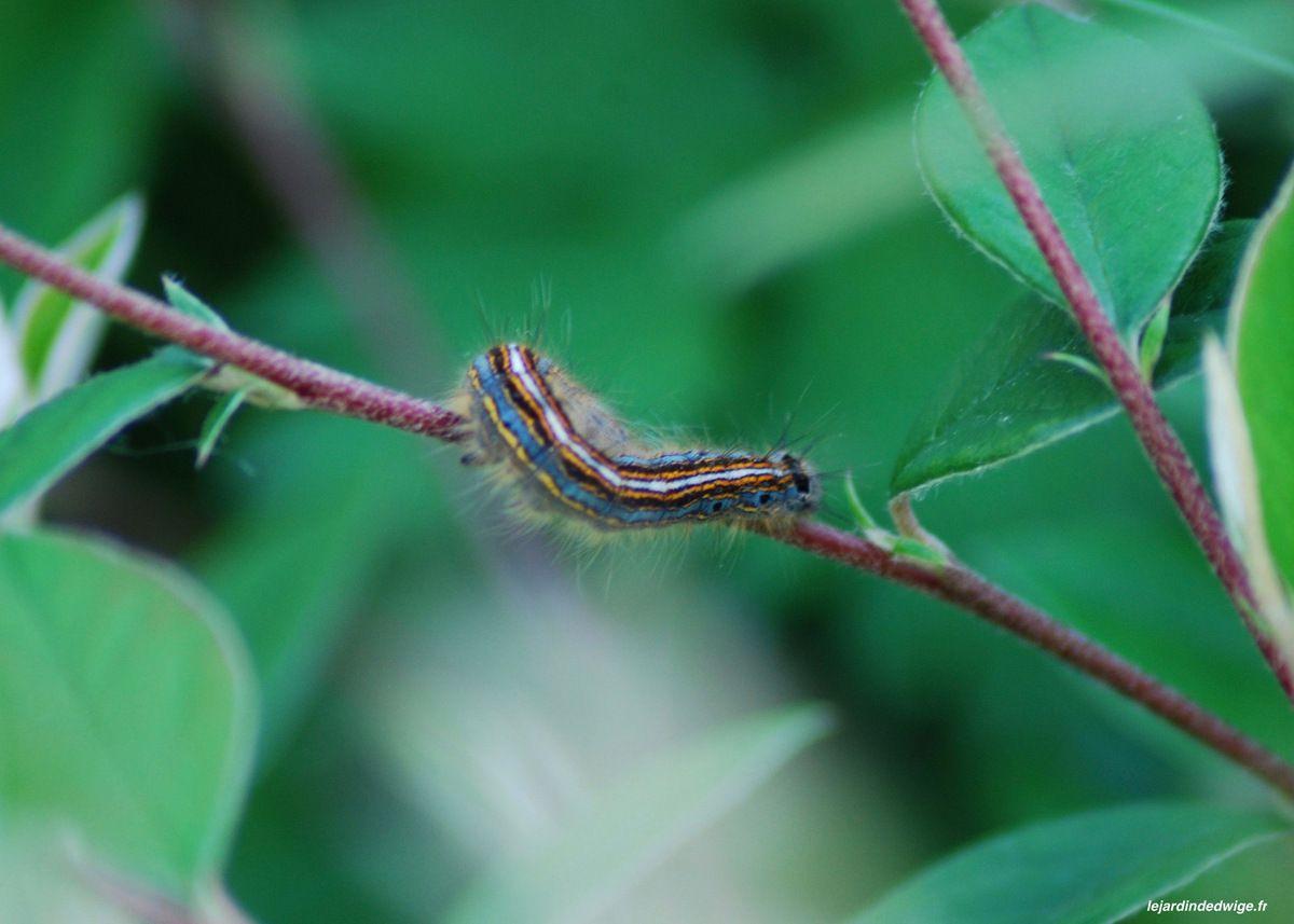 Livrée des arbres - Bombyx à livrée - Malacosoma neustria.