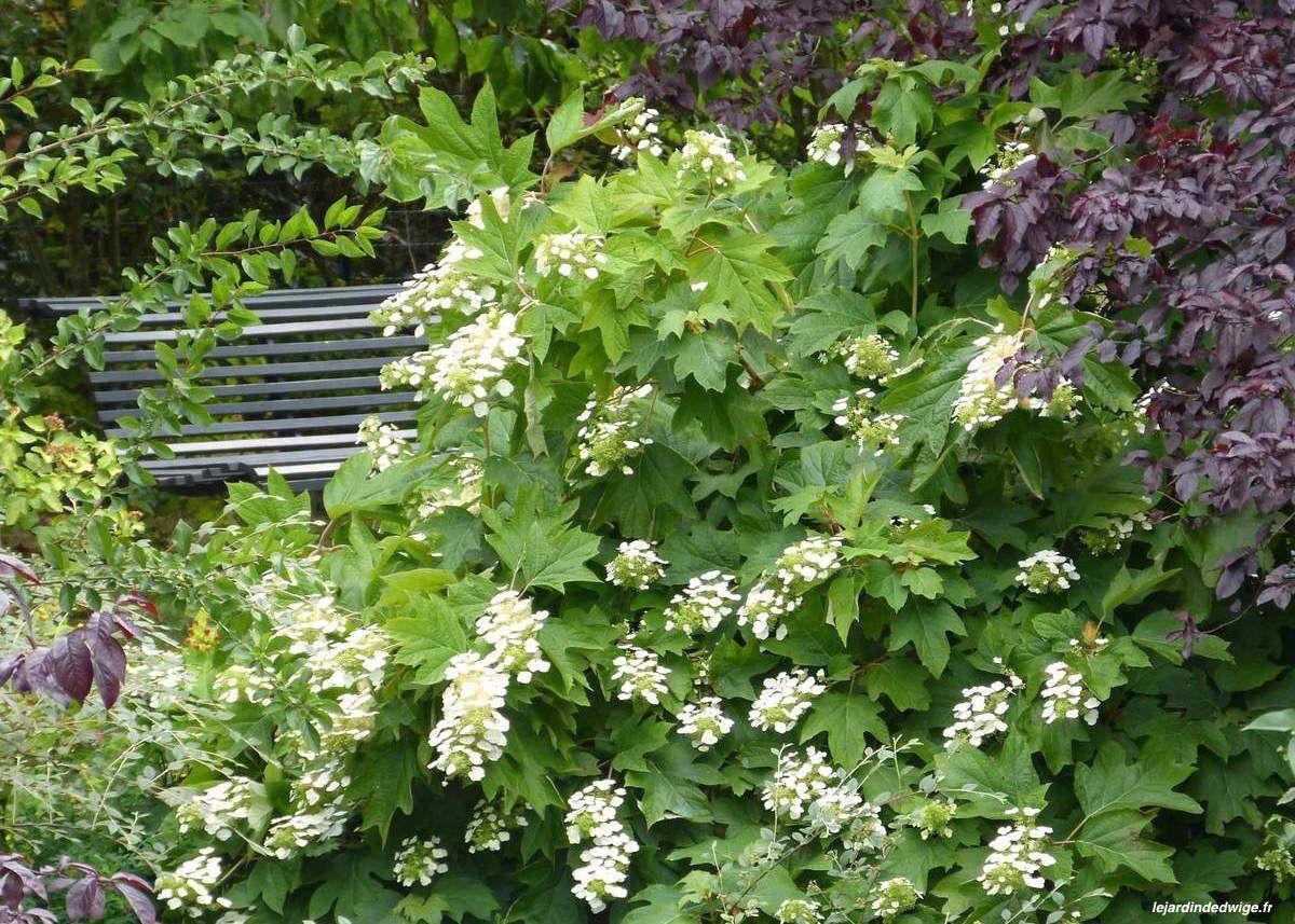 Hortensia à feuilles de chêne - Hydrangea quercifolia