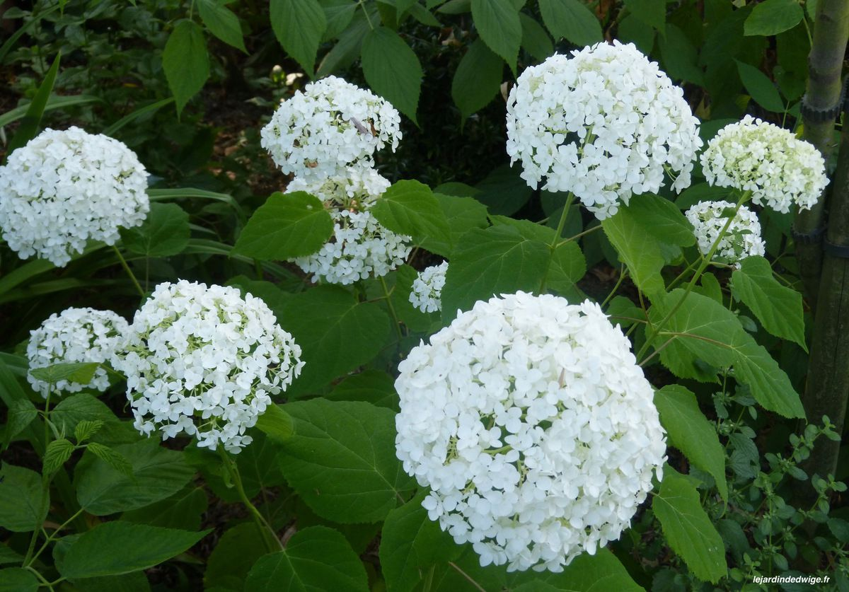 Hortensia 'Annabelle ' - Hydrangea arborescens 'Annabelle'