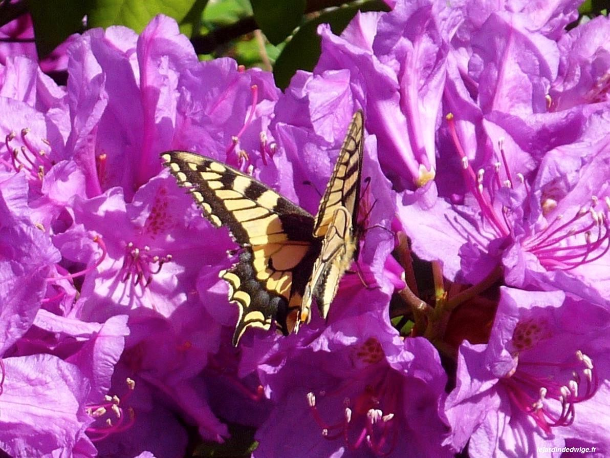 Machaon - Papilio machaon.