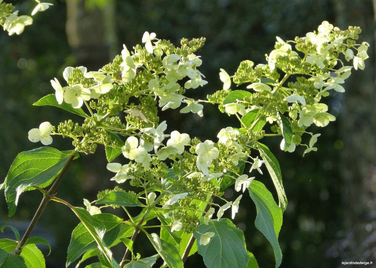 Début octobre, les inflorescences sur l'arbuste sont toujours décoratives.