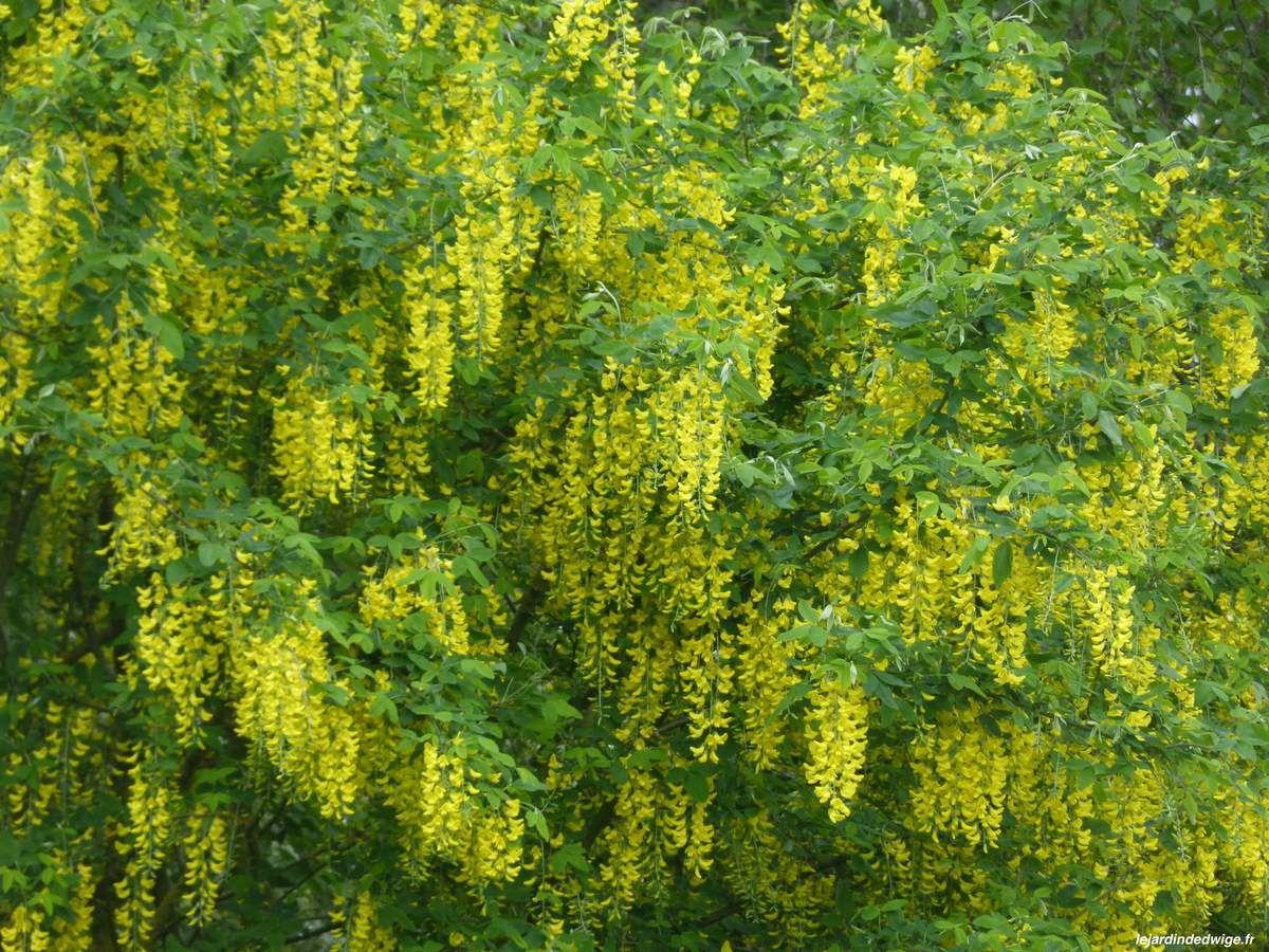 Fleurs odorantes mellifères.