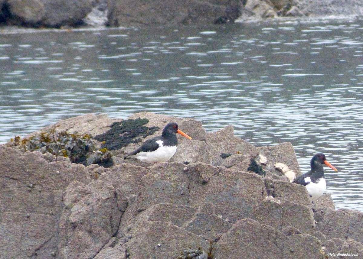 Oiseaux en Baie de Saint-Brieuc.