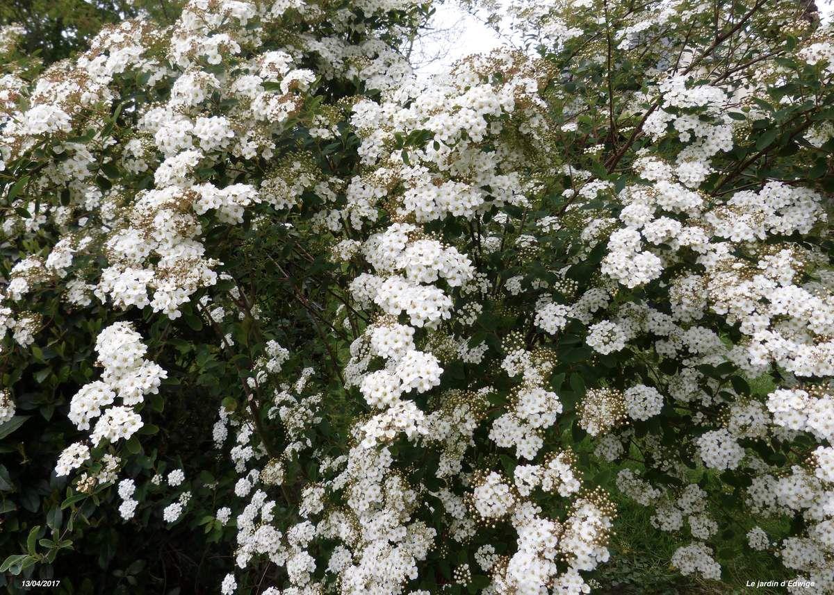 Une cascade de fleurs blanches en avril-mai.