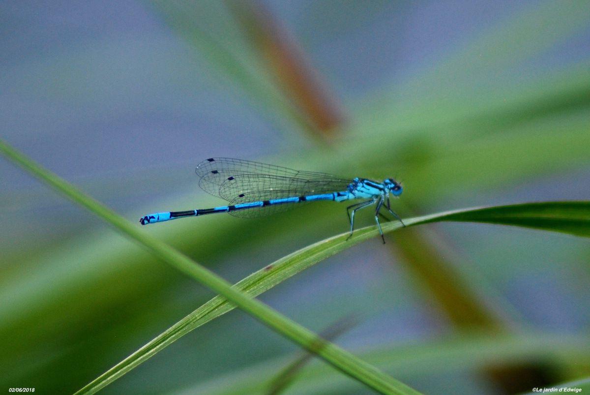 Mâle bleu avec un dessin noir en forme de U sur le 2ème segment de l'abdomen.
