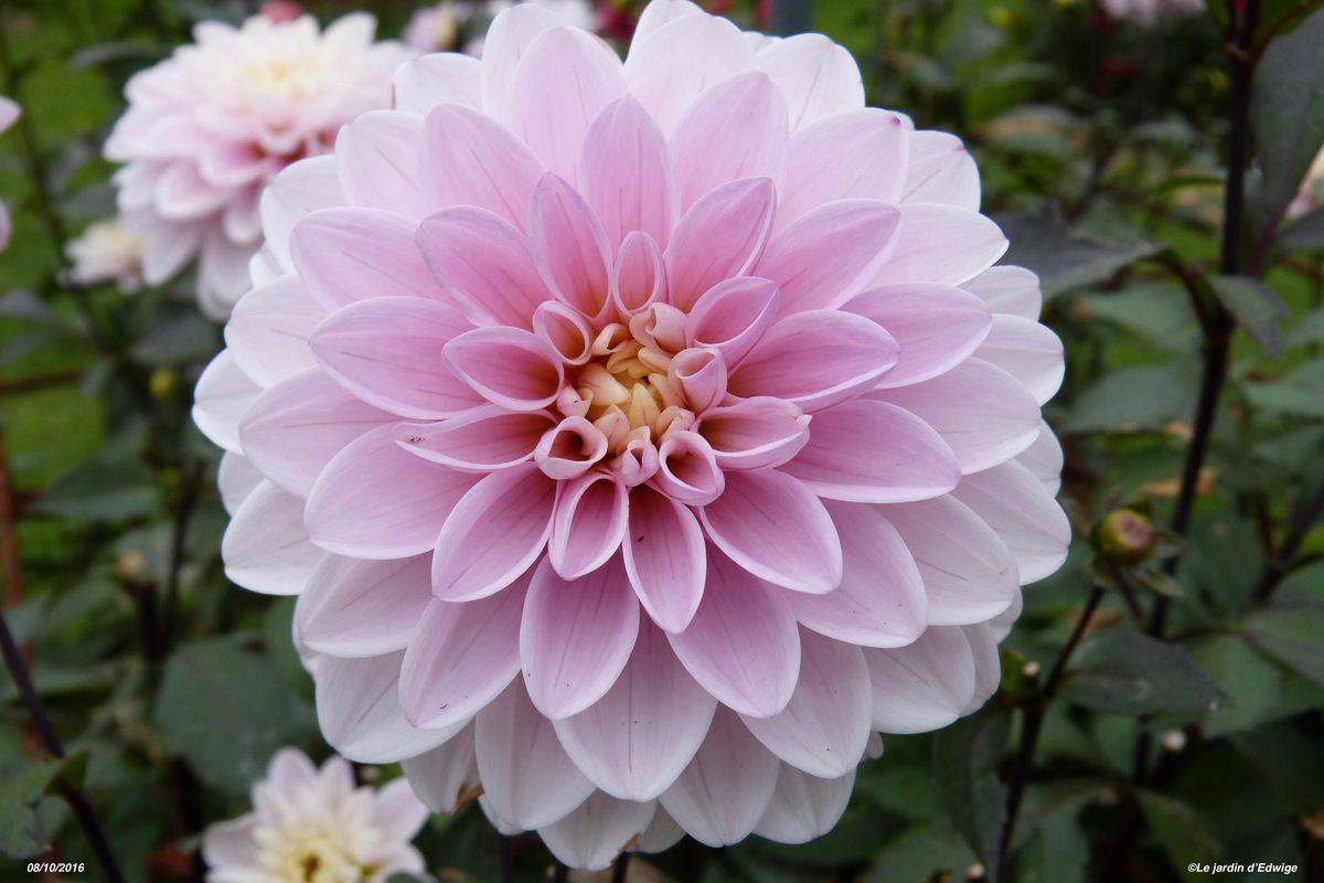 Dahlia 'Rose des sables'