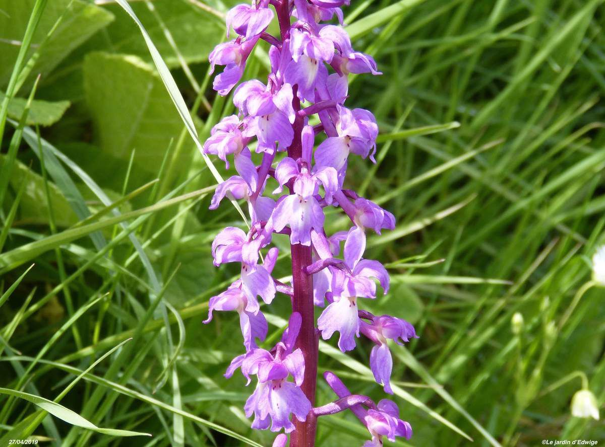 Orchis mâle - Orchis mascula