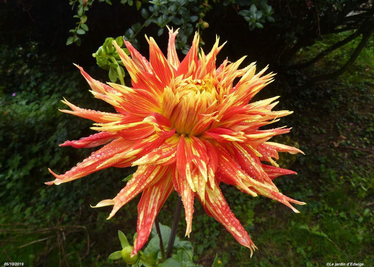 Dahlia 'Show and Tell'