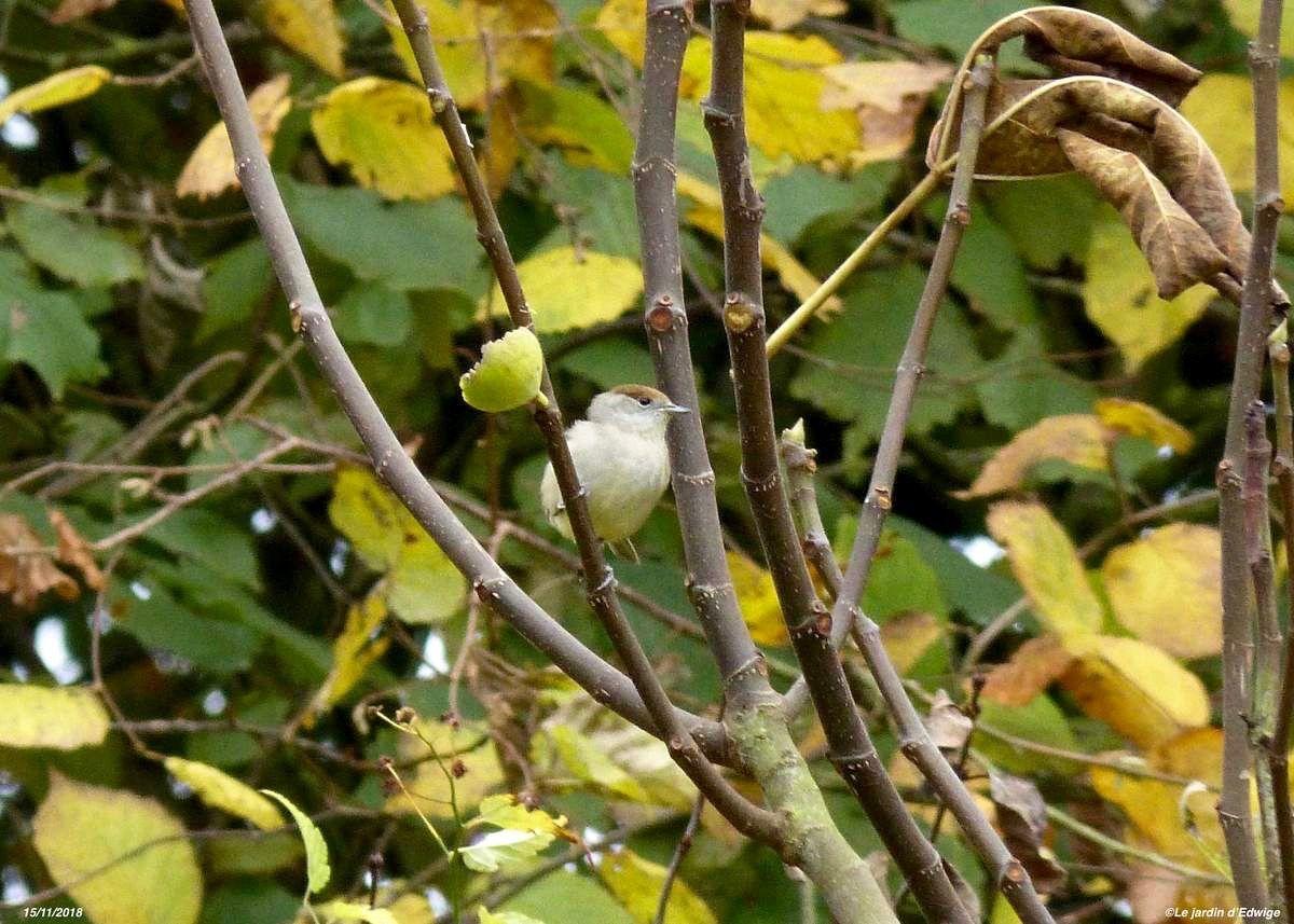 Figuier - Ficus carica