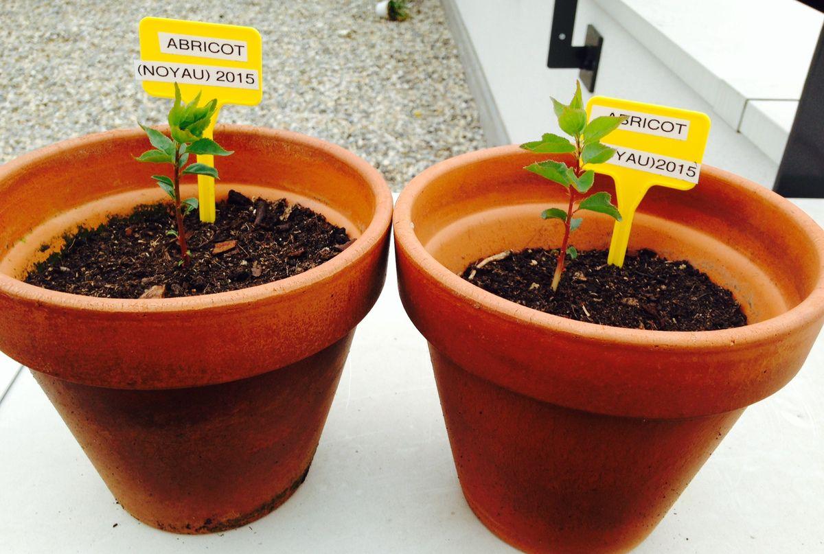 Faire Germer Noyau D Avocat planter des noyaux de fruits pour les faire germer (début de