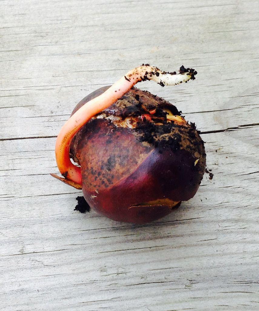 Faire Germer Un Marron D Inde la germination des marrons (premier essai) - le blog