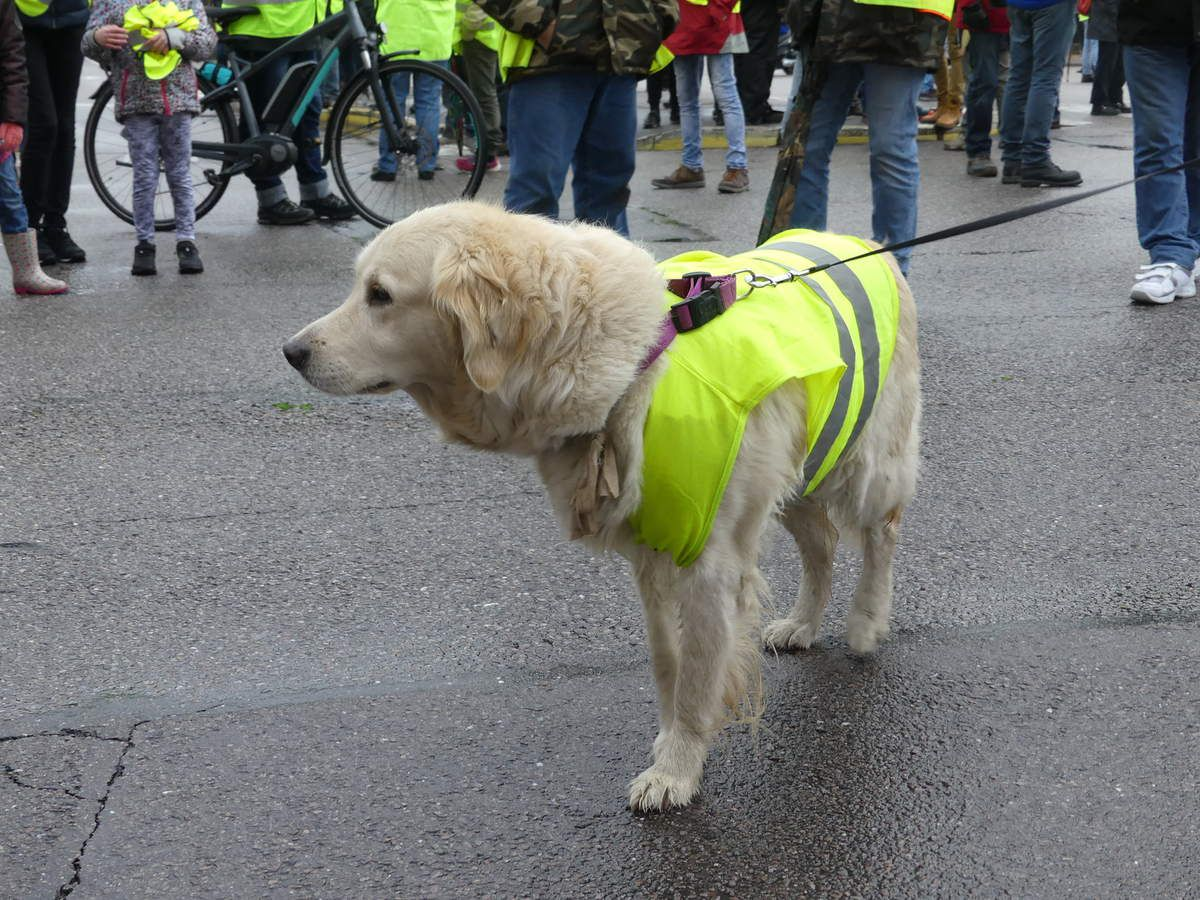 Un Golden Jaune... mi retriever mi manifestant