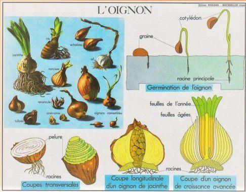 L'oignon
