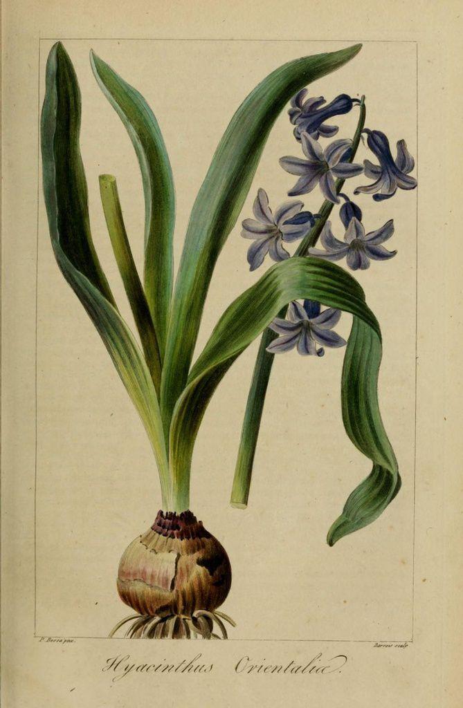 La jacinthe est une vivace bulbeuse originaire de Méditerranée orientale. Elle appartient à la famille des Hyacinthacées (elle était jadis rattachée aux Liliacées).