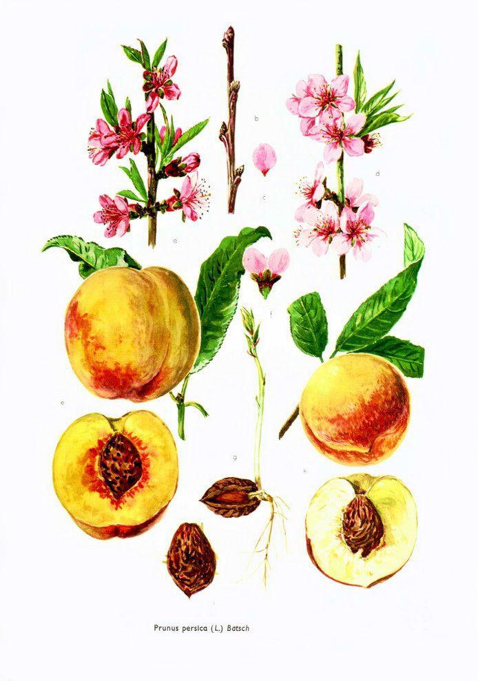 Pêche - Brugnon -Nectarine