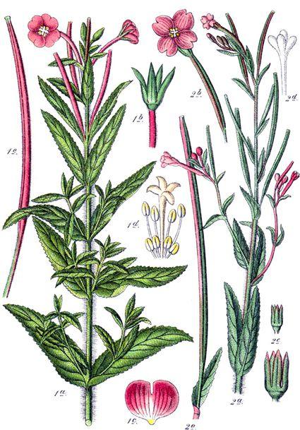 Epilobium parviflorum, l'épilobe à petites fleurs ou encore épilobe-mollet