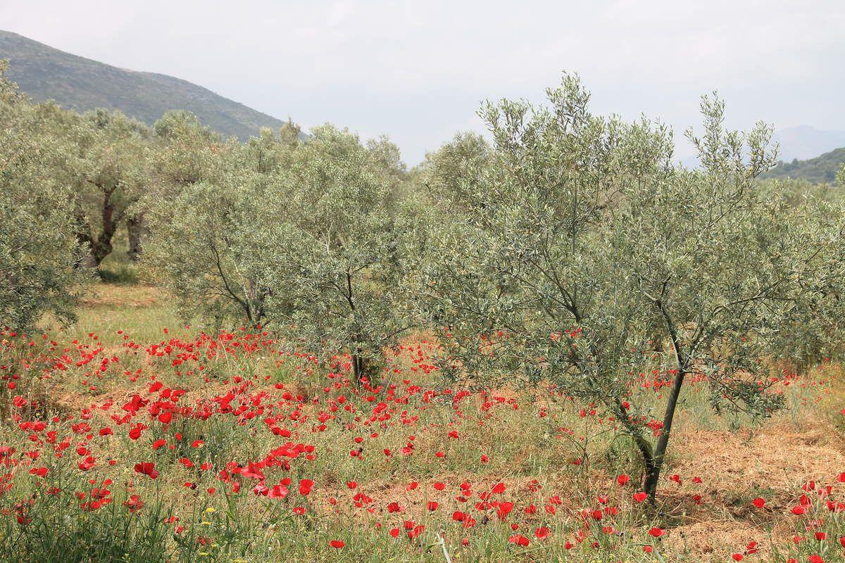 Ravani - Grèce (5) Corinthe