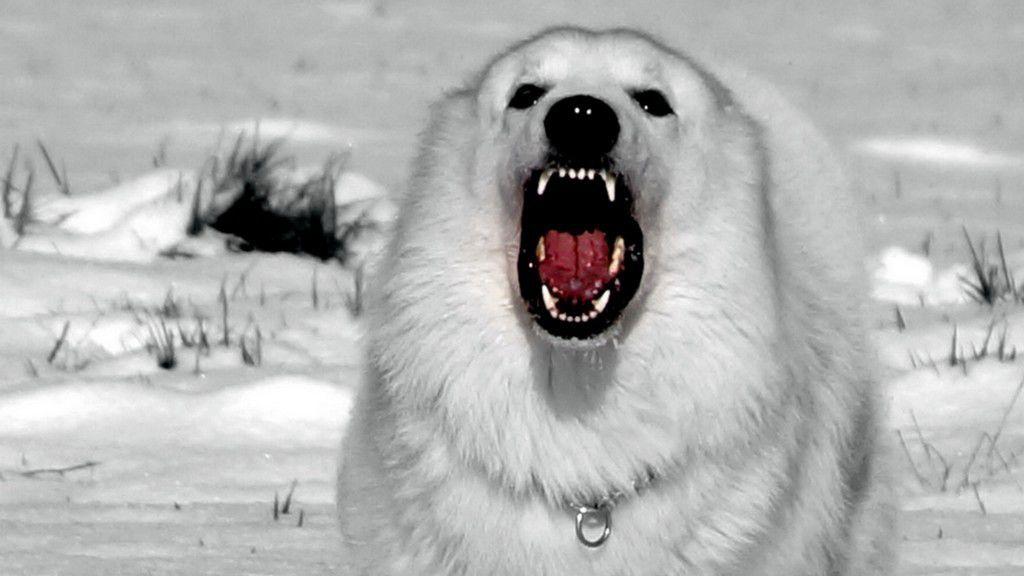 lord profite de la neige (berger blanc suisse)