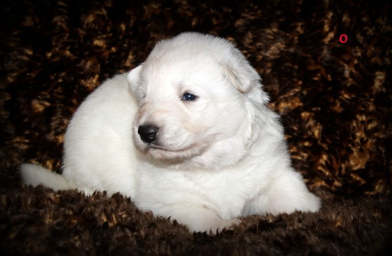 Chiot issu de Best girl joyfull white angel's et Lord of world du domaine charlesien