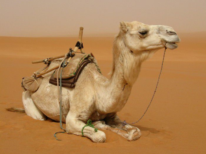 Photo de chameau (source: divinatix)