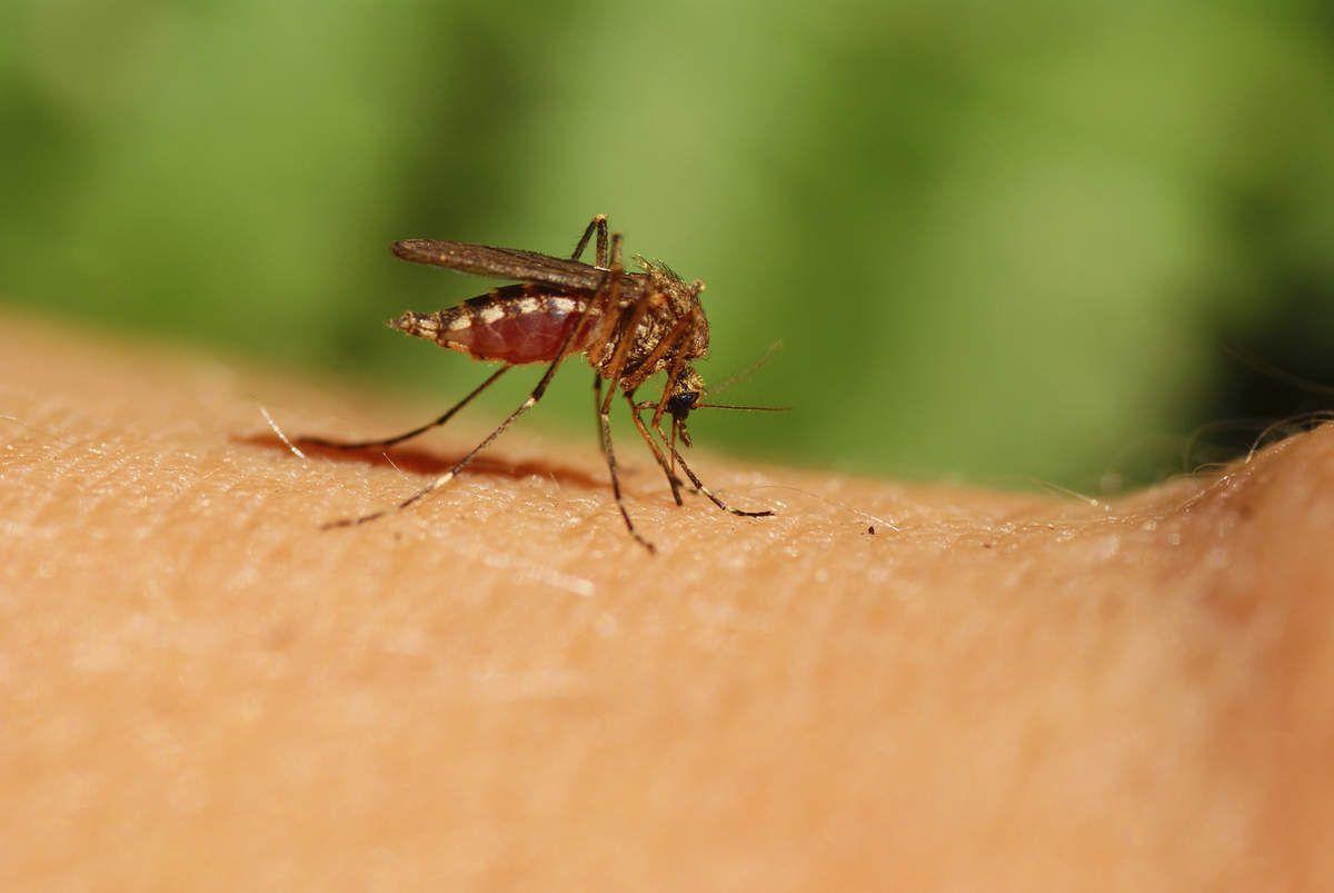 Photo d'un moustique (source: topsante)