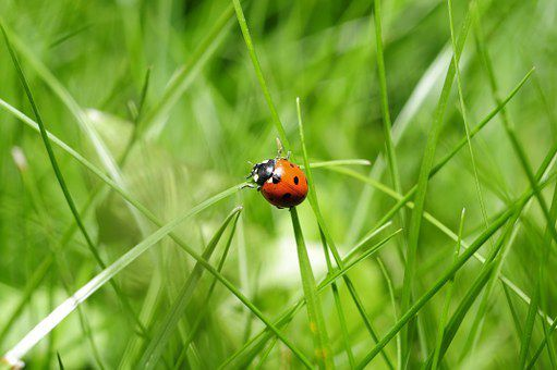 Photo d'un coccinelle (source: https://cdn.pixabay.com/photo/2015/06/03/14/24/ladybug-796481__340.jpg)